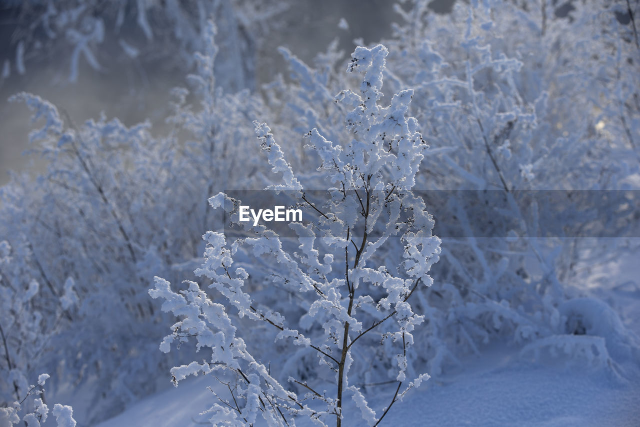 cold temperature, winter, snow, frozen, beauty in nature, plant, white color, nature, ice, no people, close-up, day, tranquility, focus on foreground, tree, growth, environment, outdoors, covering, extreme weather, melting, icicle