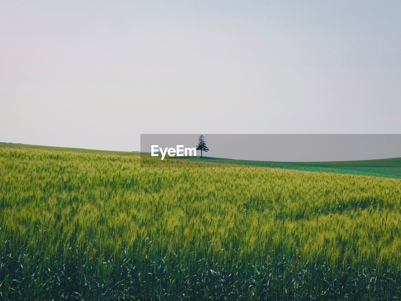 Scenic View Of Wheat Field Against Clear Sky