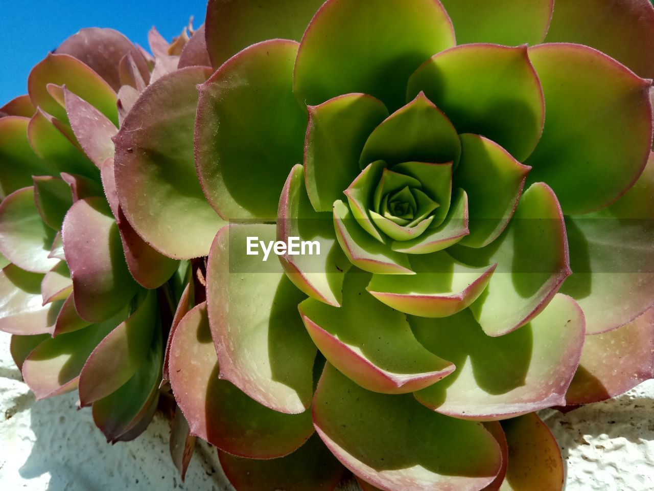 succulent plant, plant, beauty in nature, close-up, green color, freshness, growth, flower, nature, no people, flowering plant, day, inflorescence, vulnerability, cactus, flower head, fragility, petal, rose, outdoors