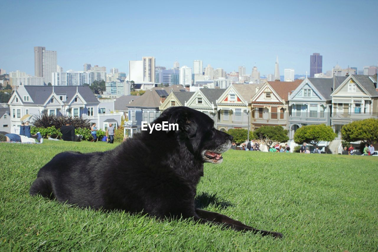 Black dog sitting on field against buildings in city