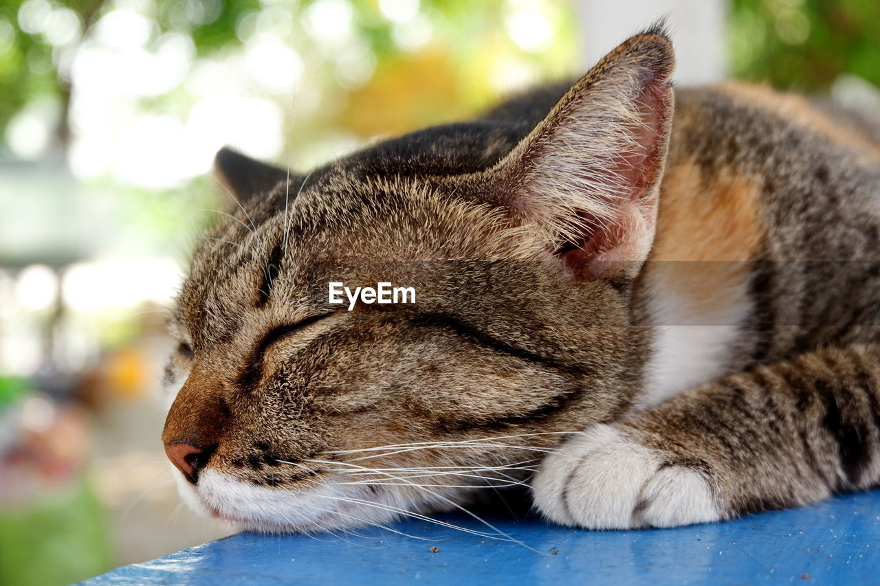 animal, animal themes, cat, mammal, feline, one animal, domestic cat, domestic, pets, domestic animals, vertebrate, focus on foreground, close-up, relaxation, eyes closed, no people, resting, whisker, animal body part, sleeping, animal head, tabby, profile view, animal eye, napping