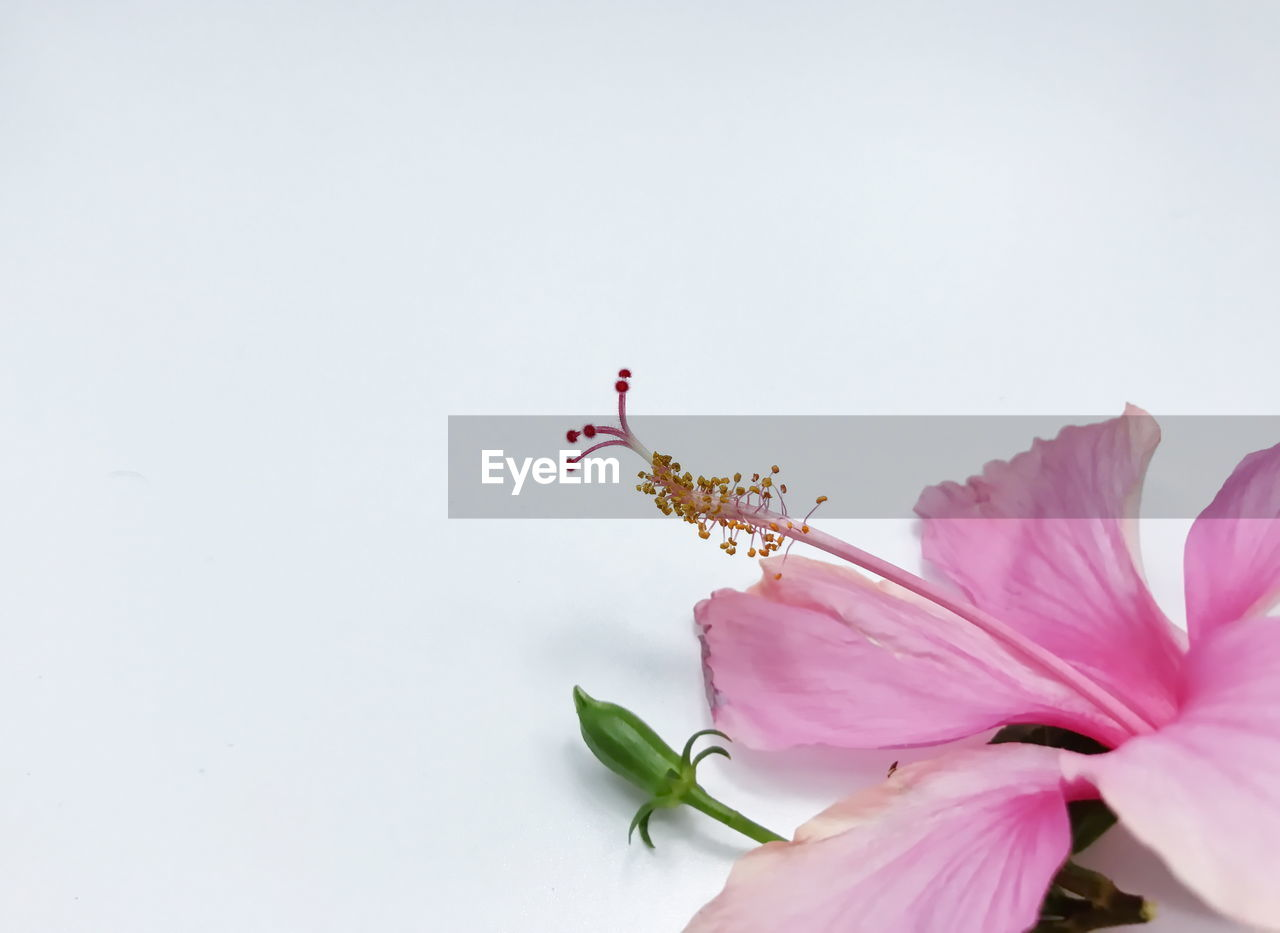 flower, flowering plant, invertebrate, fragility, vulnerability, copy space, petal, plant, insect, close-up, beauty in nature, pink color, animal themes, one animal, studio shot, freshness, animal, no people, animals in the wild, flower head, pollen, pollination