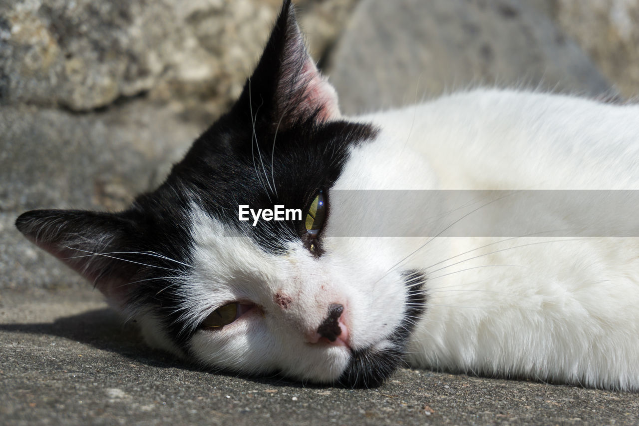 animal themes, one animal, animal, mammal, pets, domestic, domestic animals, cat, vertebrate, feline, domestic cat, whisker, close-up, relaxation, no people, white color, lying down, focus on foreground, day, footpath, animal head, animal eye