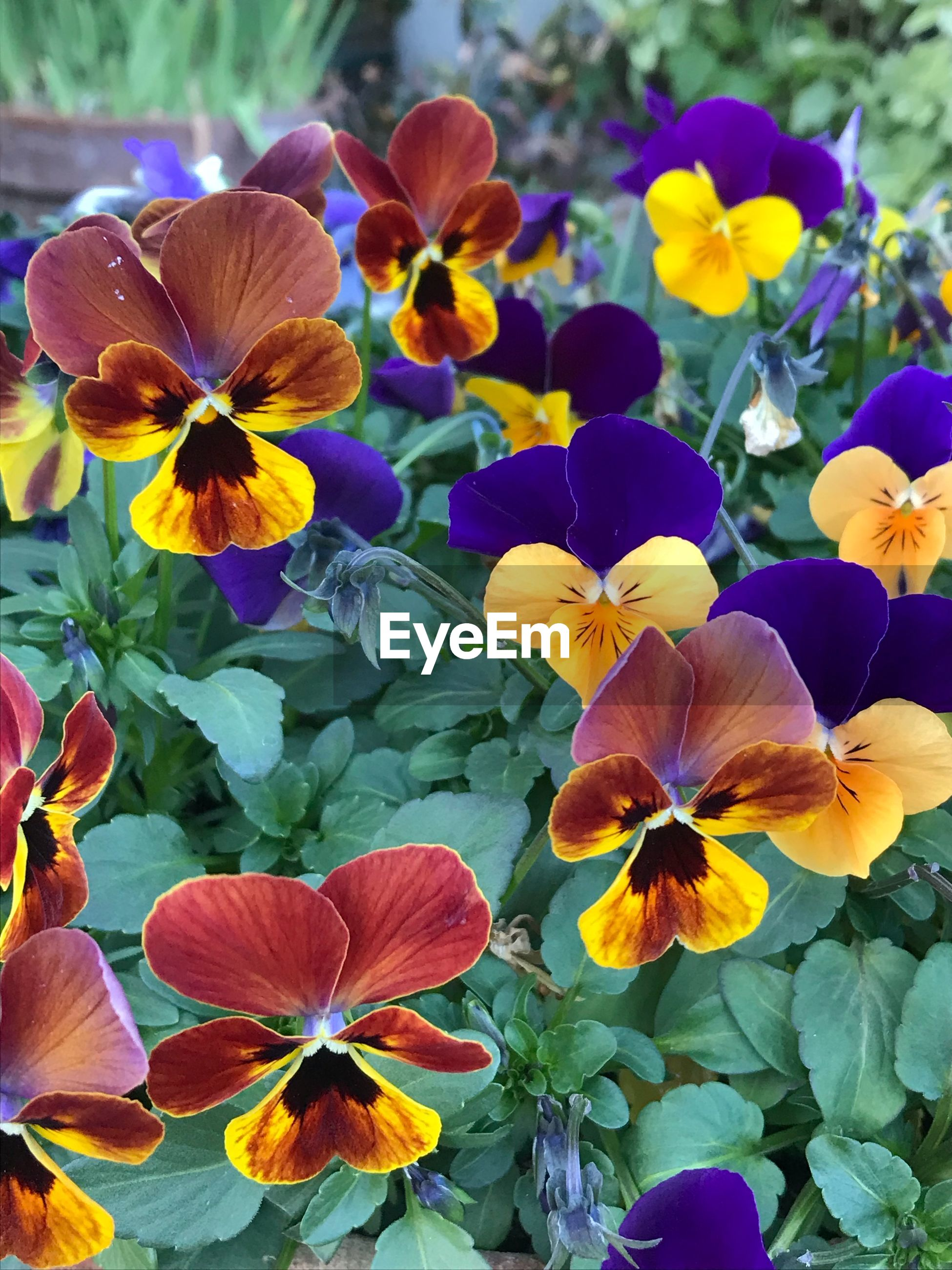 flower, petal, growth, plant, flower head, pansy, fragility, beauty in nature, nature, blooming, freshness, day, outdoors, no people, yellow, close-up, petunia