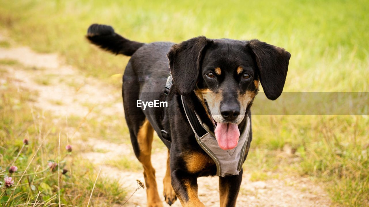 one animal, mammal, domestic, pets, domestic animals, canine, dog, animal themes, animal, grass, portrait, vertebrate, looking at camera, plant, land, field, no people, nature, focus on foreground, day, outdoors, panting, mouth open, animal tongue, animal mouth, animal head, purebred dog