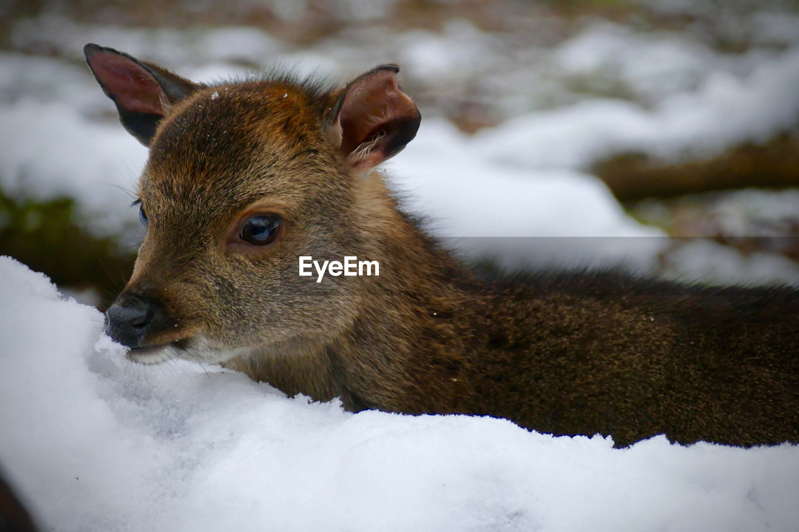 snow, animal, animal themes, mammal, winter, one animal, animal wildlife, cold temperature, animals in the wild, vertebrate, close-up, no people, day, nature, focus on foreground, field, domestic animals, land, covering, herbivorous