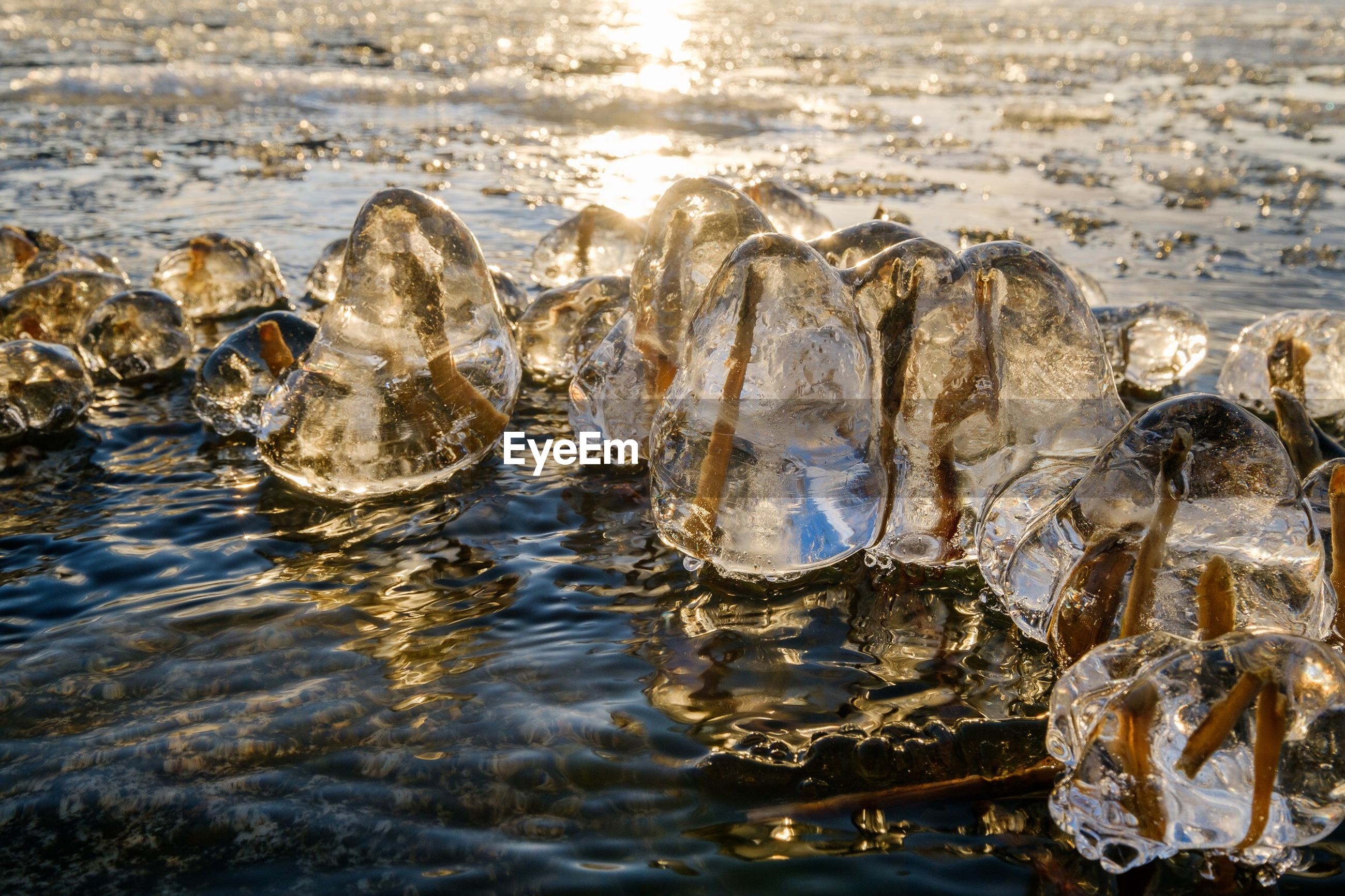 Close-up of frozen plants in lake during sunset