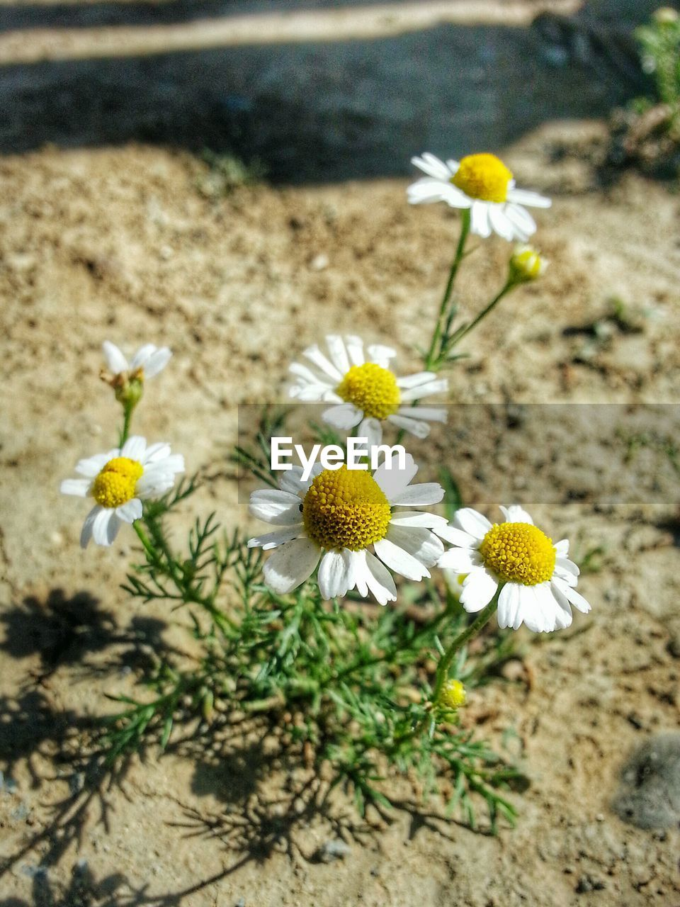 flower, fragility, nature, yellow, freshness, petal, flower head, growth, beauty in nature, no people, day, white color, plant, high angle view, outdoors, blooming, pollen, close-up, focus on foreground