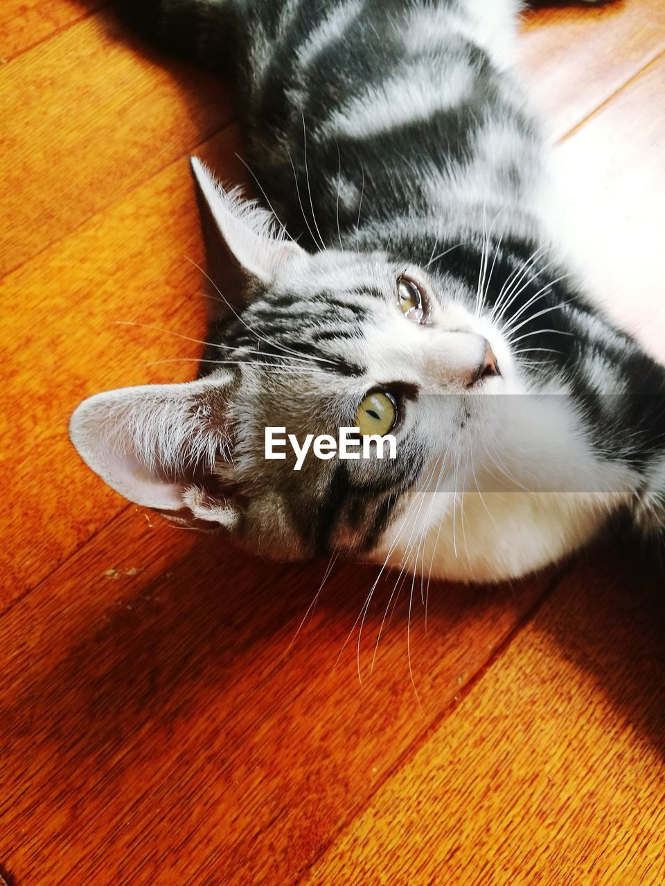 cat, domestic cat, domestic, feline, pets, animal themes, animal, domestic animals, one animal, mammal, vertebrate, relaxation, indoors, high angle view, portrait, no people, whisker, wood - material, lying down, flooring, wood, animal head, animal eye