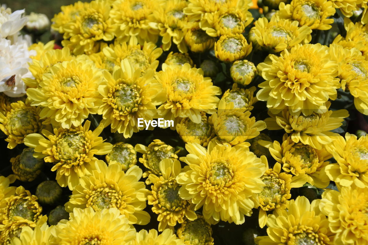 flower, yellow, fragility, freshness, petal, nature, beauty in nature, no people, growth, flower head, plant, full frame, blooming, outdoors, day, close-up, backgrounds