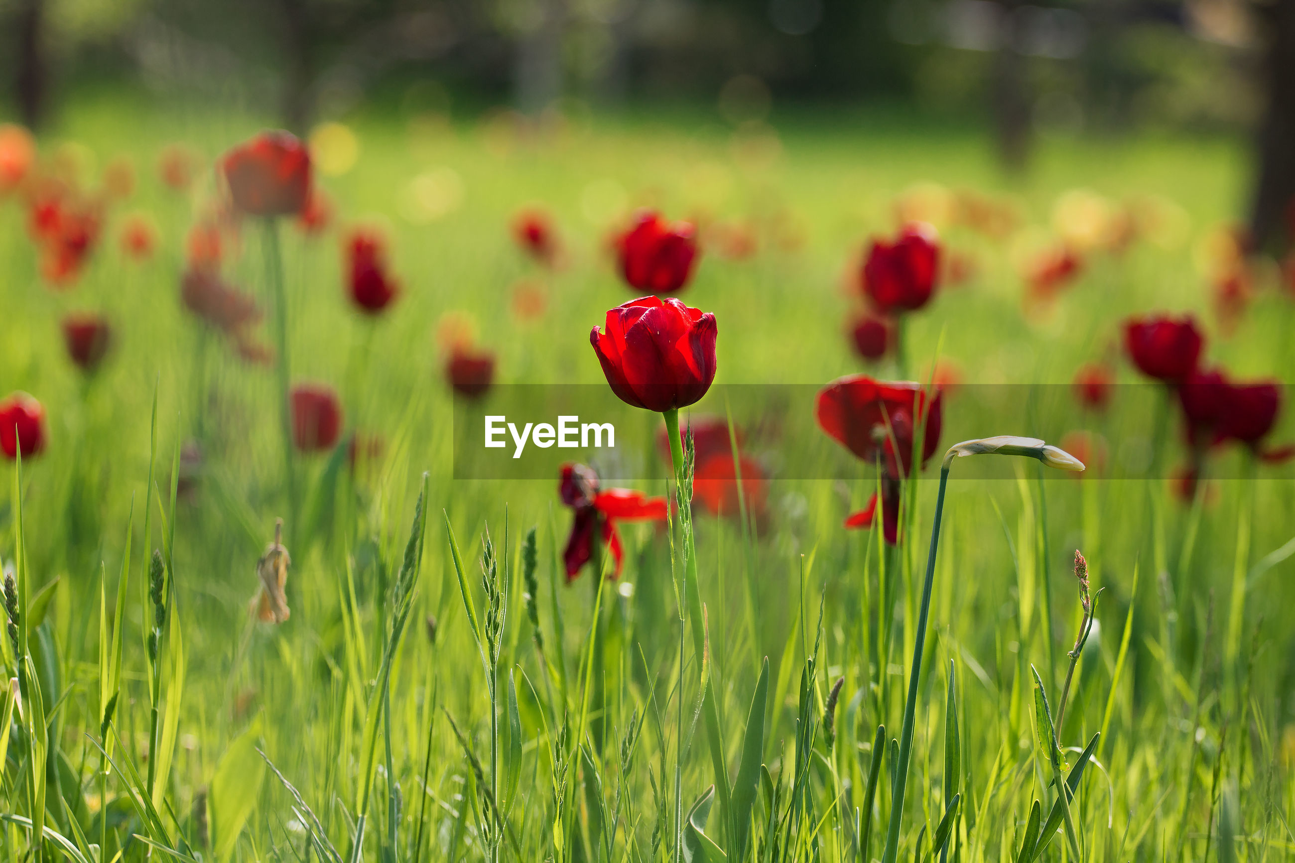 Close-up of poppy blooming in field