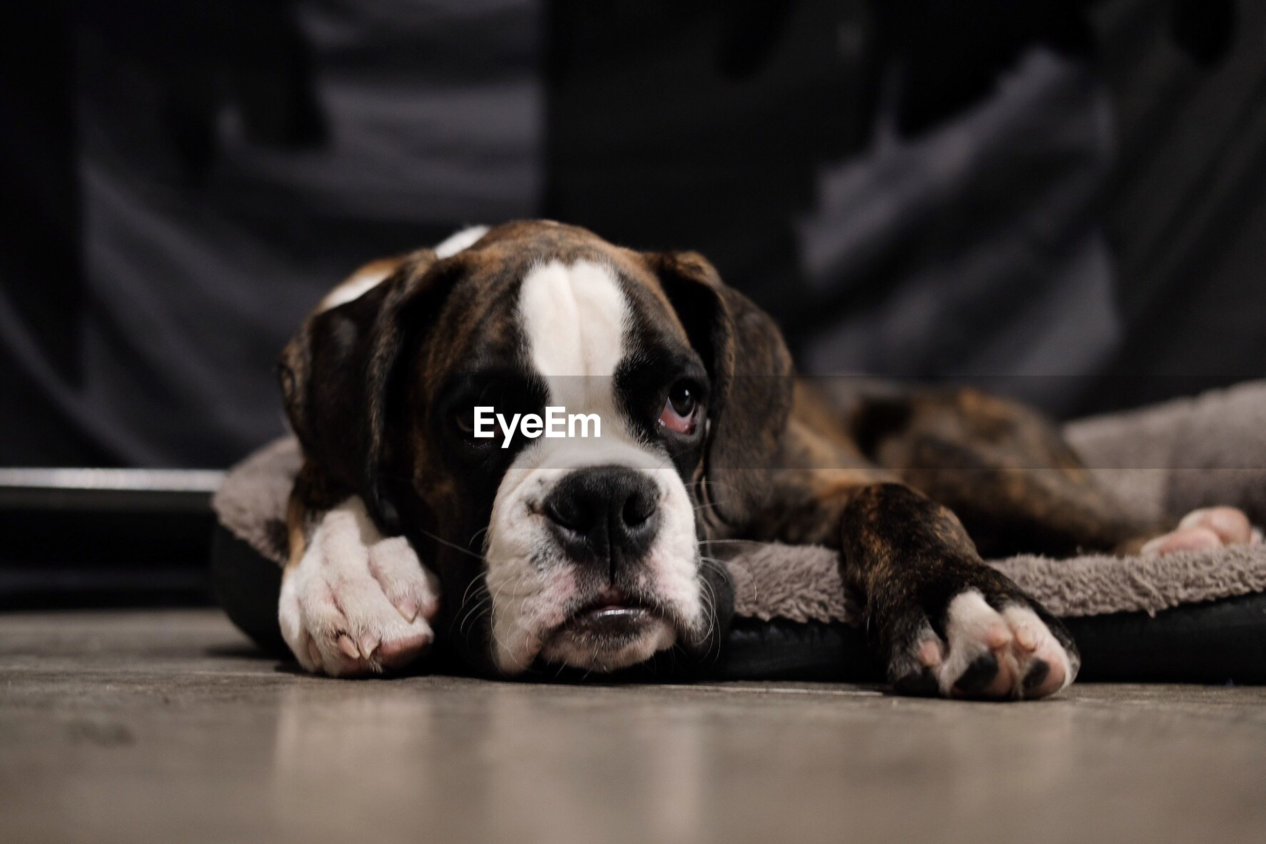 PORTRAIT OF DOG LYING ON FLOOR
