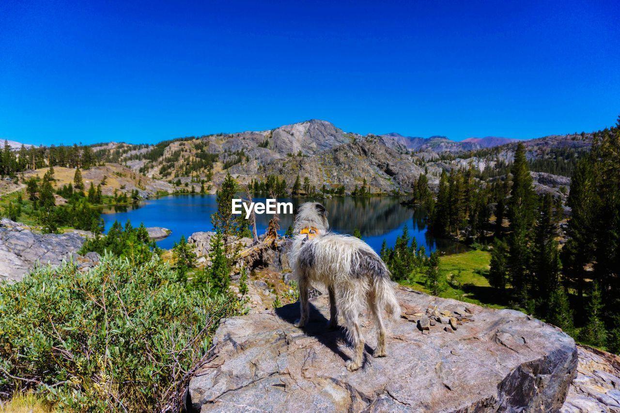 Dog on rock against clear blue sky