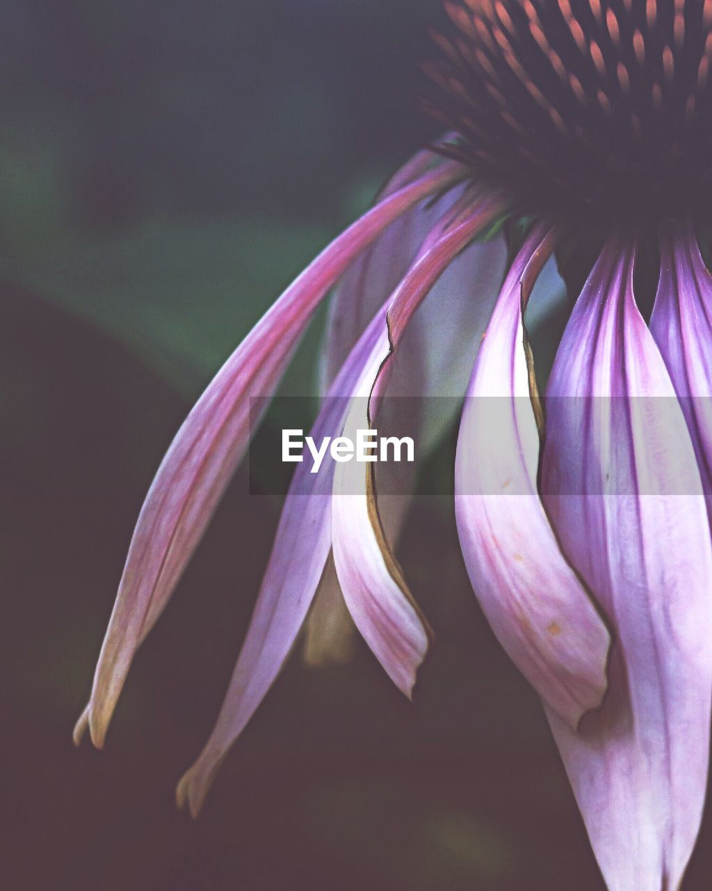 flowering plant, flower, vulnerability, fragility, beauty in nature, petal, freshness, plant, close-up, growth, inflorescence, flower head, purple, no people, nature, focus on foreground, pink color, botany, pollen, springtime, sepal