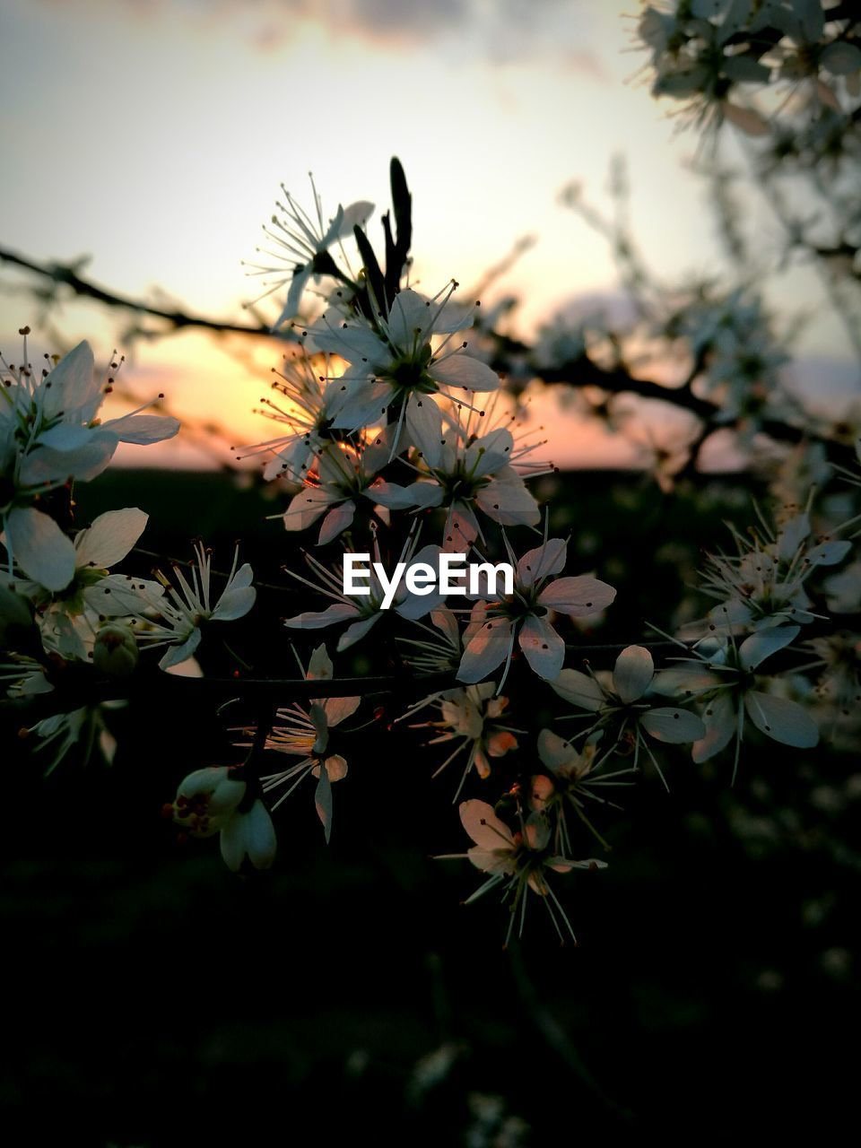 flower, nature, plant, beauty in nature, growth, no people, outdoors, sunset, fragility, freshness, close-up, flower head, blooming, day, sky