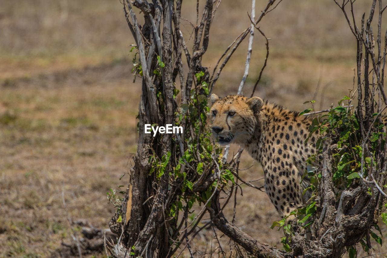 animal wildlife, animal, animals in the wild, animal themes, mammal, big cat, feline, one animal, tree, cat, vertebrate, plant, land, no people, focus on foreground, nature, cheetah, safari, day