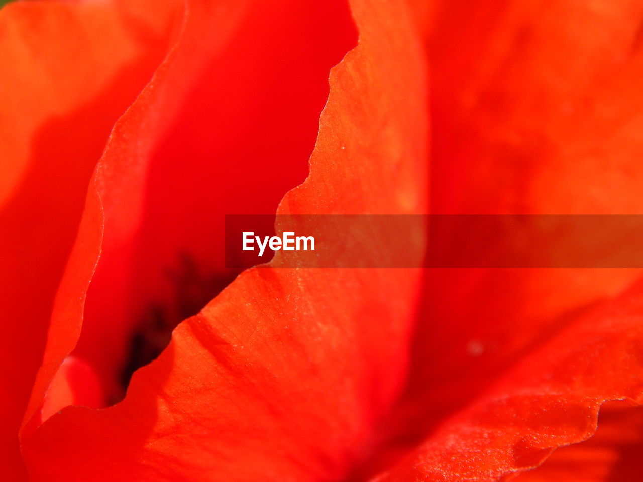 full frame, flower, petal, backgrounds, nature, red, beauty in nature, close-up, flower head, fragility, freshness, rose - flower, no people, soft focus, day, outdoors, hibiscus