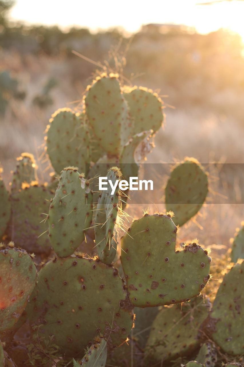 cactus, succulent plant, prickly pear cactus, growth, plant, beauty in nature, green color, thorn, nature, close-up, no people, day, spiked, sunlight, focus on foreground, selective focus, outdoors, tranquility, desert, land, arid climate, climate, spiky