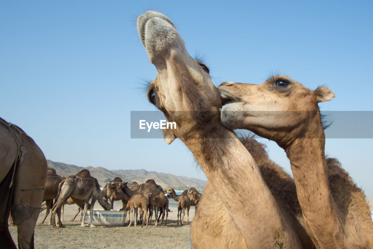Close-Up Of Camels Playing Against Clear Sky