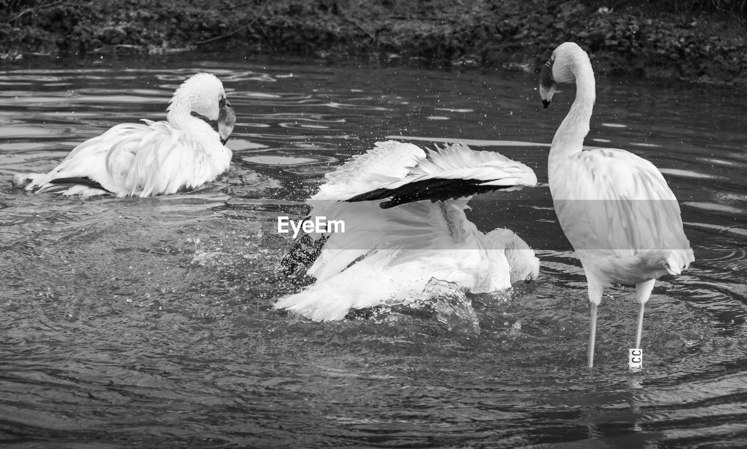 bird, animal themes, vertebrate, animal, group of animals, animals in the wild, water, lake, animal wildlife, waterfront, no people, day, nature, white color, lakeshore, water bird, beak, swan, three animals, animal family, flock of birds