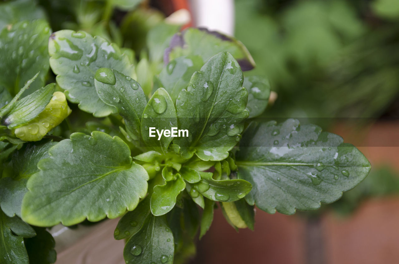 green color, drop, leaf, close-up, freshness, wet, water, selective focus, food and drink, raindrop, focus on foreground, day, no people, nature, growth, outdoors, beauty in nature, food