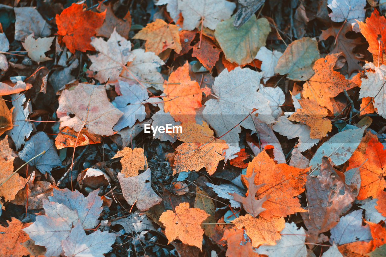 autumn, leaf, change, maple leaf, leaves, nature, outdoors, day, no people, close-up, fragility, maple, beauty in nature