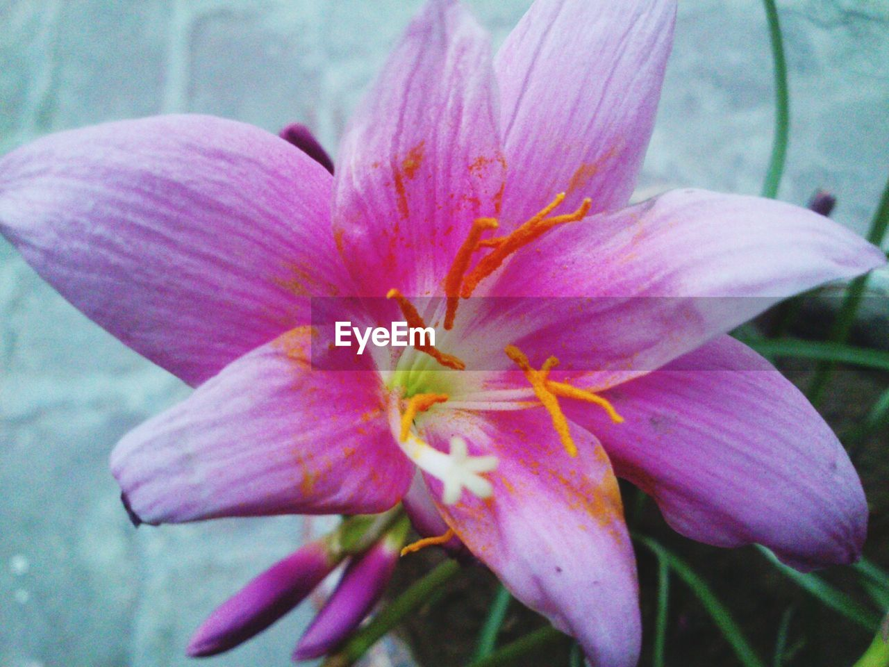 Close-up of pink day lily in pot