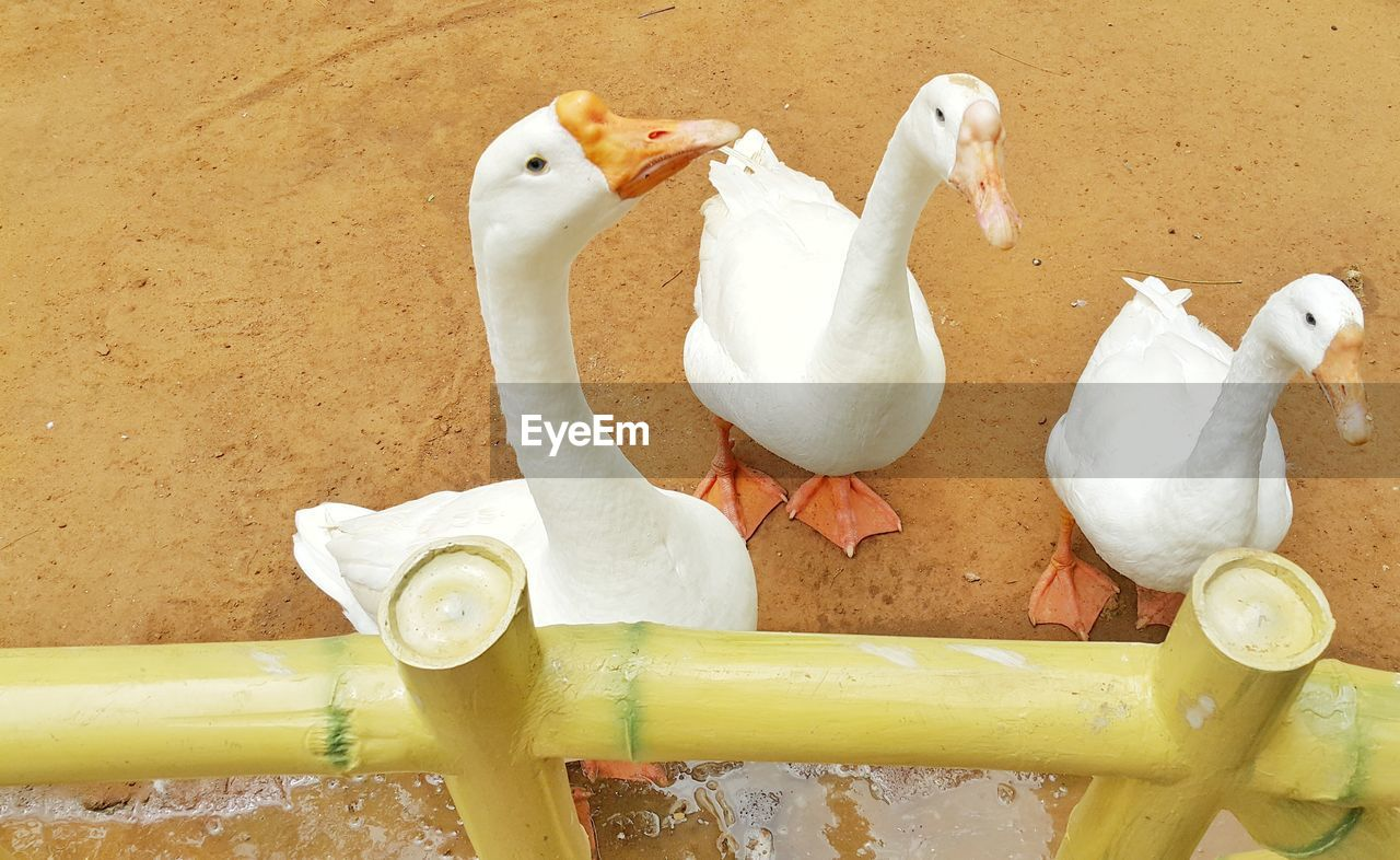 bird, animal themes, white color, no people, animals in the wild, high angle view, water, nature, day, togetherness, outdoors, swan
