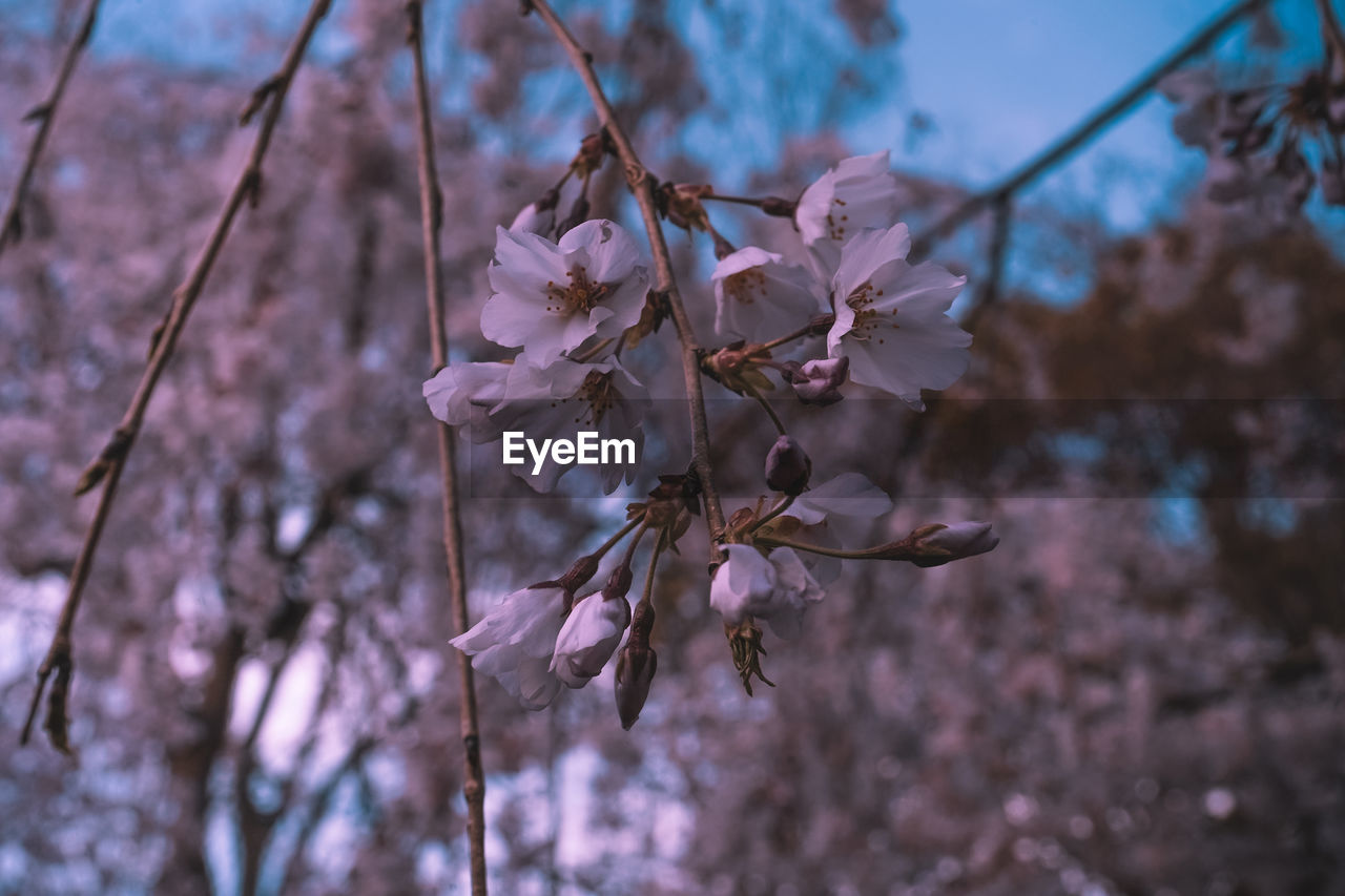 flowering plant, flower, fragility, plant, vulnerability, beauty in nature, growth, freshness, close-up, springtime, blossom, petal, tree, cherry blossom, no people, branch, focus on foreground, nature, twig, day, pink color, cherry tree, outdoors, flower head, pollen