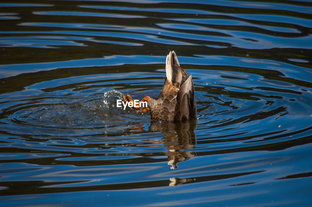 one animal, animal themes, waterfront, animals in the wild, water, outdoors, no people, lake, day, swimming, animal wildlife, nature, bird, close-up, mammal