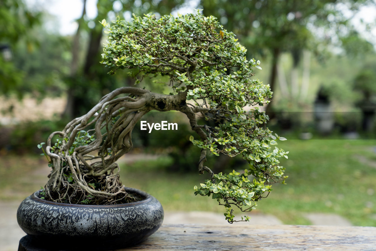 plant, focus on foreground, day, tree, no people, nature, green color, bonsai tree, growth, outdoors, close-up, sculpture, creativity, art and craft, front or back yard, garden, park, statue, potted plant, water