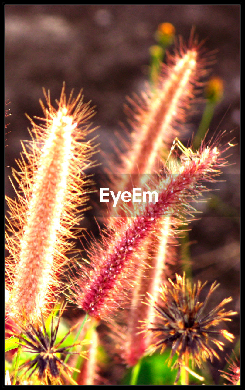 flower, nature, growth, plant, no people, fragility, uncultivated, beauty in nature, close-up, focus on foreground, wildflower, outdoors, day, spiked, freshness, flower head, thistle
