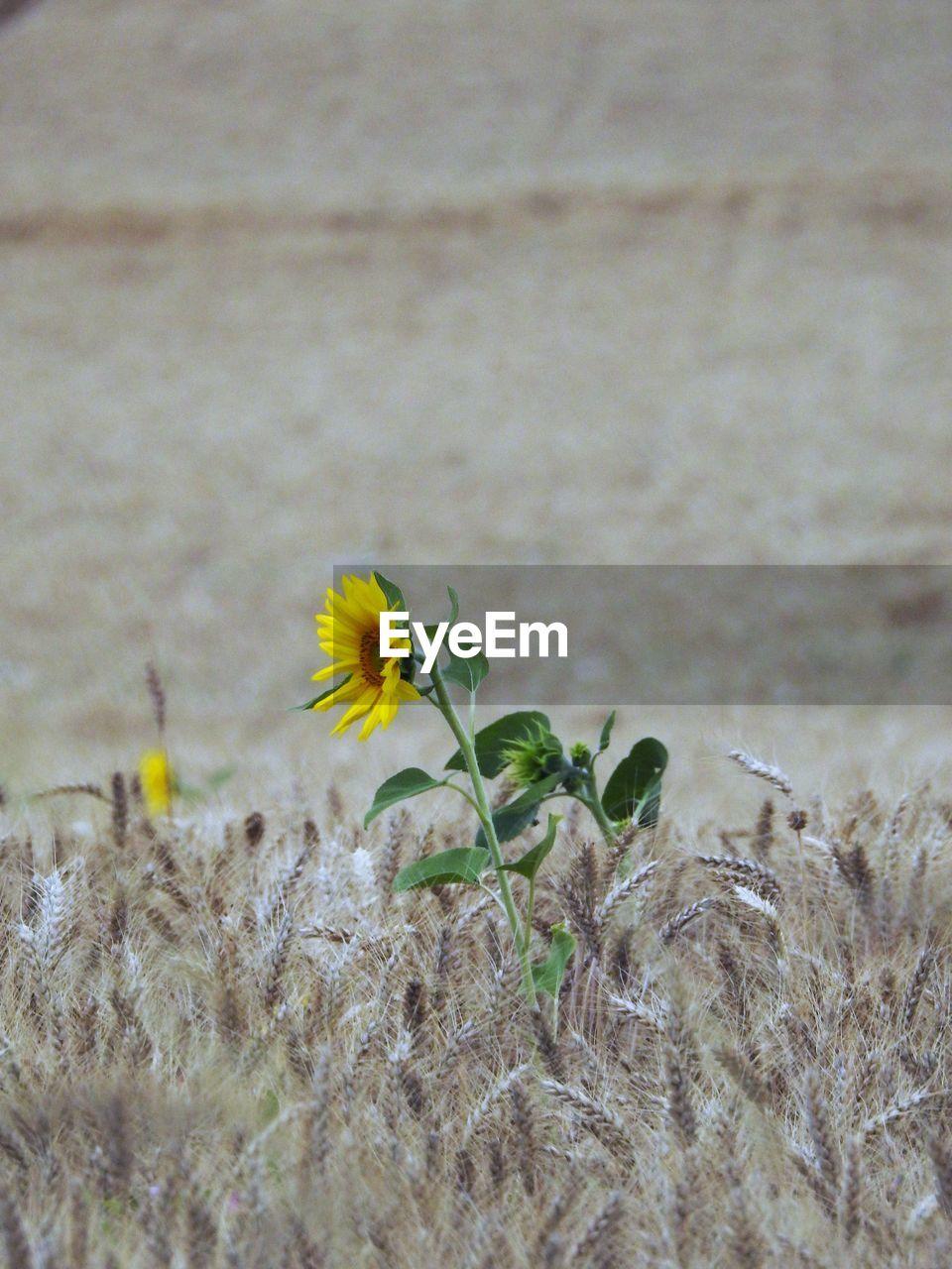 Sunflower On Wheat Field
