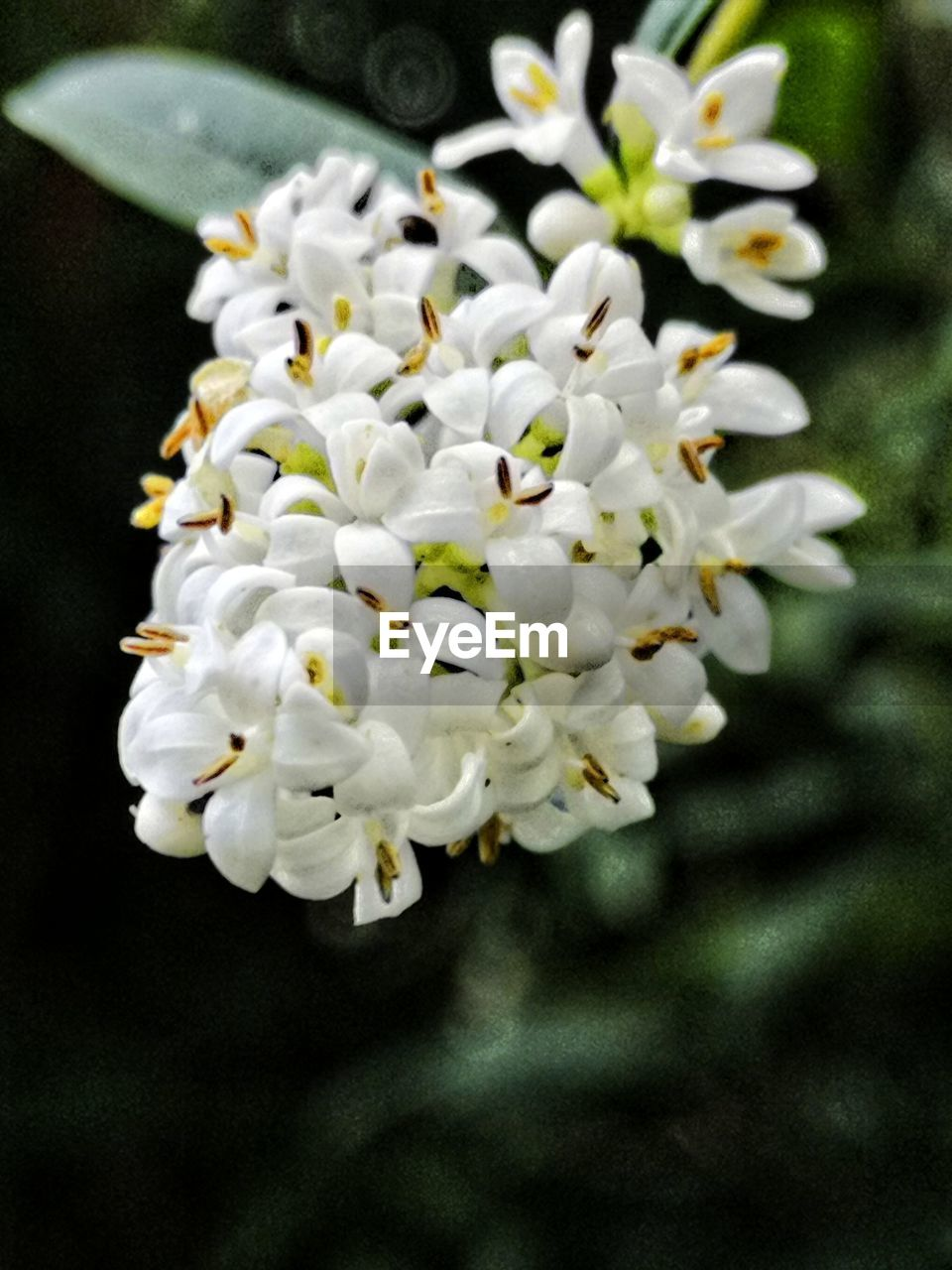 flower, flowering plant, freshness, fragility, plant, vulnerability, beauty in nature, white color, petal, growth, close-up, flower head, inflorescence, focus on foreground, nature, no people, day, pollen, botany, outdoors, bunch of flowers