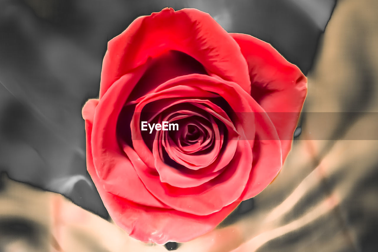 flower, rose - flower, petal, fragility, flower head, nature, freshness, beauty in nature, close-up, growth, focus on foreground, red, outdoors, no people, day, pink color, plant, blooming