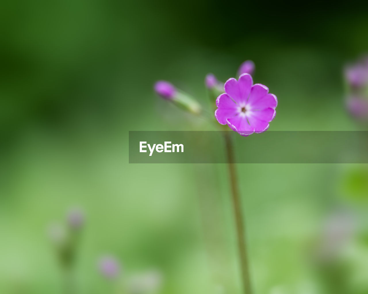 flowering plant, flower, plant, fragility, vulnerability, freshness, beauty in nature, growth, close-up, petal, inflorescence, flower head, plant stem, pink color, no people, focus on foreground, nature, day, selective focus, botany, outdoors, purple