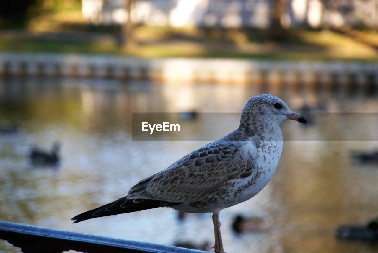 bird, animals in the wild, animal themes, animal, vertebrate, animal wildlife, water, one animal, focus on foreground, day, nature, perching, close-up, no people, seagull, outdoors, full length, side view, lake