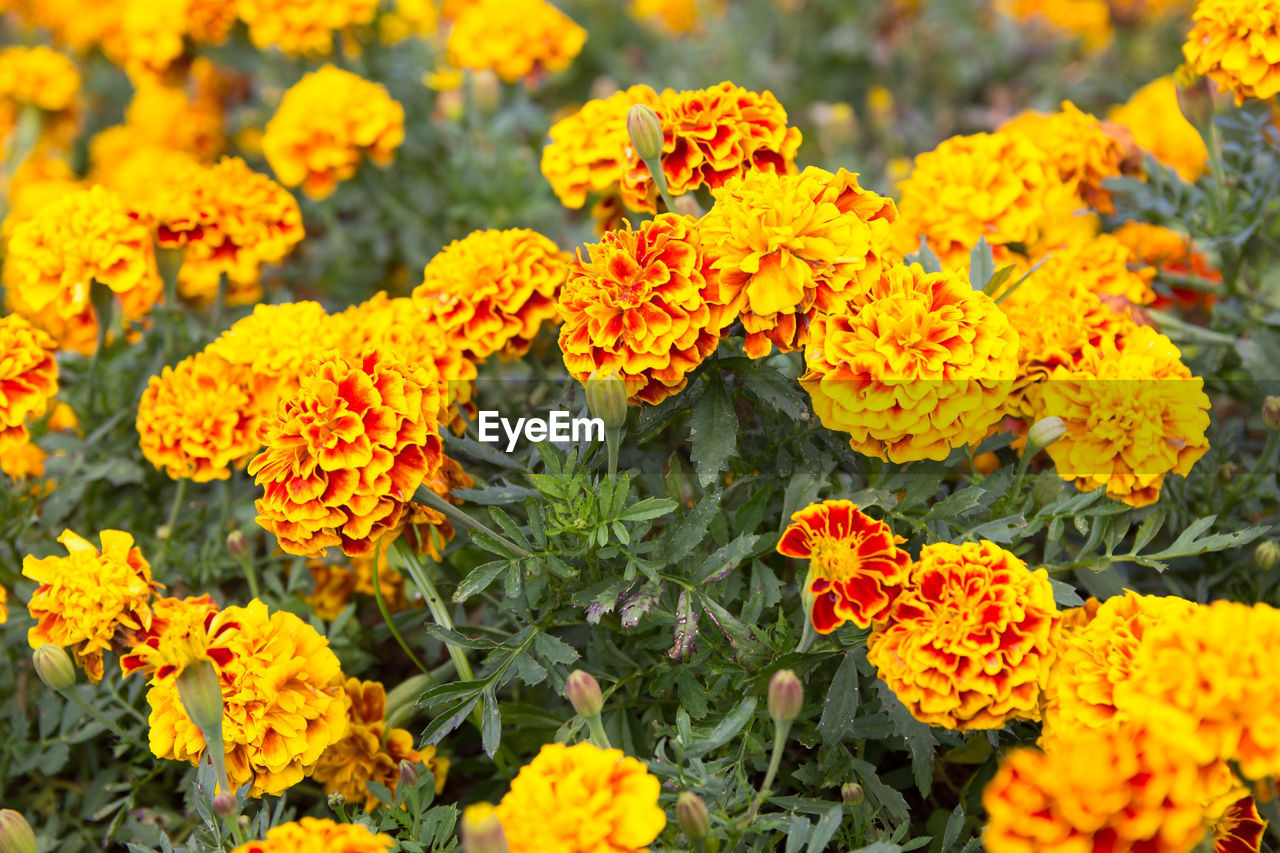 flower, flowering plant, vulnerability, beauty in nature, freshness, fragility, plant, yellow, flower head, inflorescence, marigold, growth, petal, close-up, orange color, day, nature, no people, botany, outdoors, flowerbed
