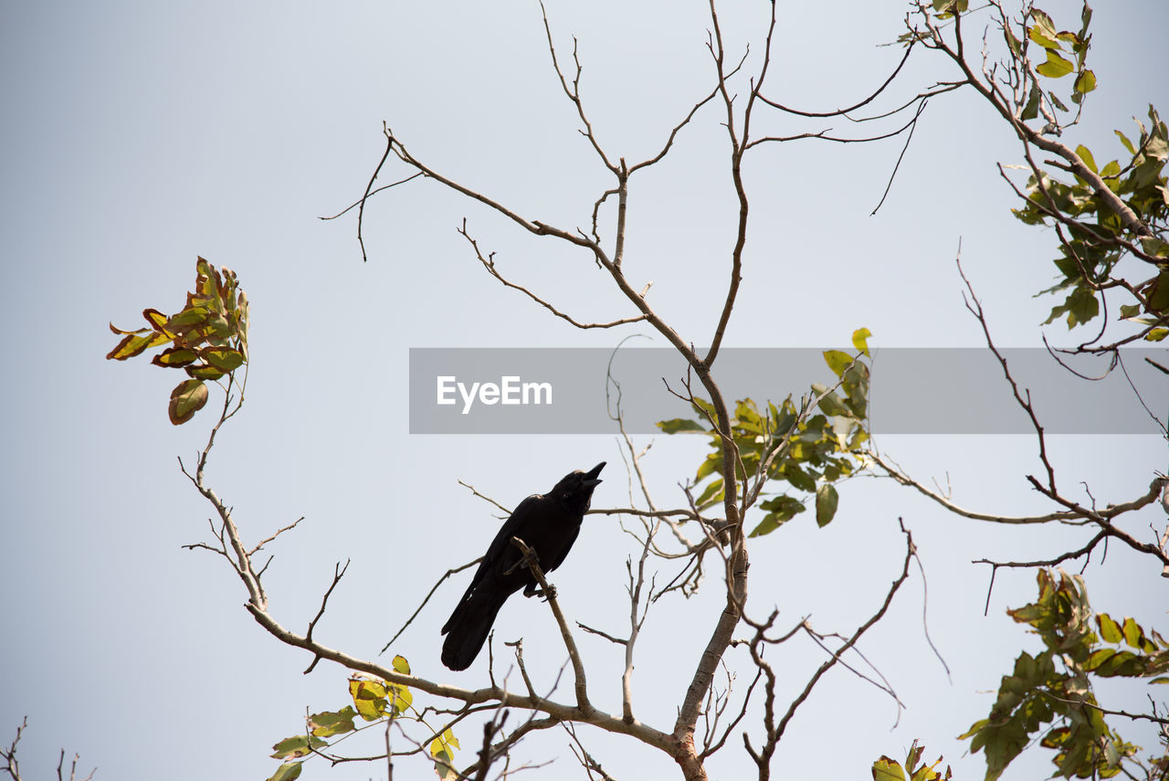 tree, branch, low angle view, bird, animals in the wild, nature, clear sky, no people, day, animal themes, animal wildlife, one animal, outdoors, leaf, sky, perching, bare tree, beauty in nature