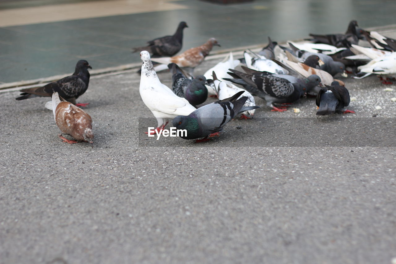bird, group of animals, vertebrate, animal, animal themes, animals in the wild, animal wildlife, large group of animals, pigeon, street, road, city, no people, selective focus, day, poultry, outdoors, eating, transportation, flock of birds, surface level