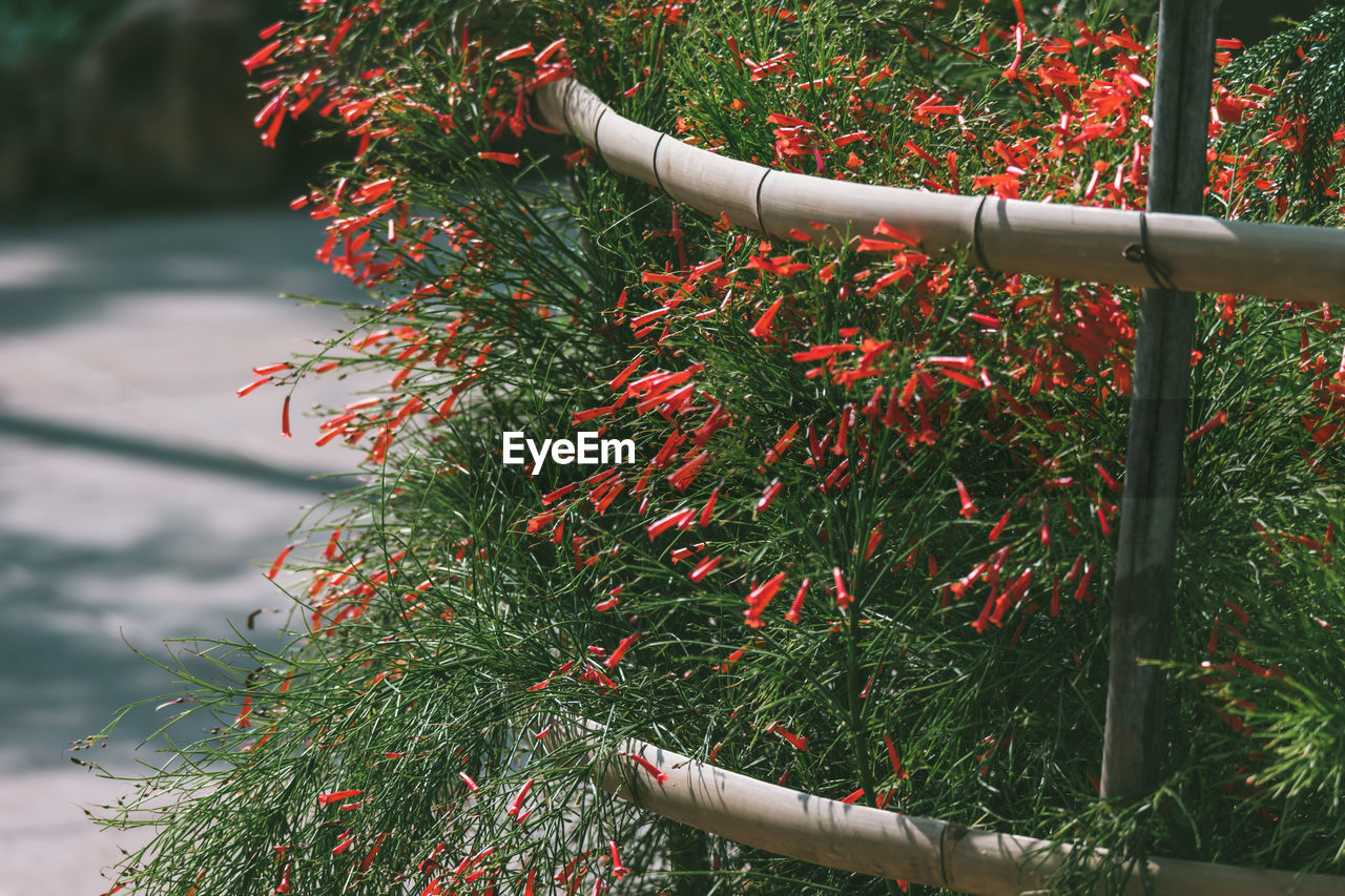Red Trumpet Flowers Blooming In Park