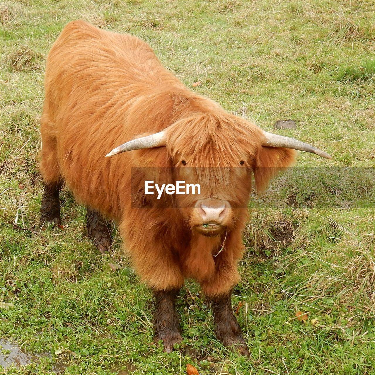 Highland cattle on grassy field