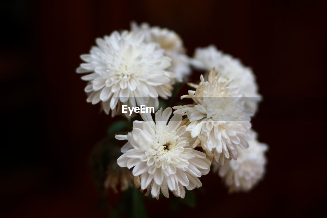 flower, flowering plant, plant, fragility, vulnerability, freshness, close-up, petal, beauty in nature, flower head, white color, growth, inflorescence, nature, no people, focus on foreground, selective focus, studio shot, outdoors, chrysanthemum