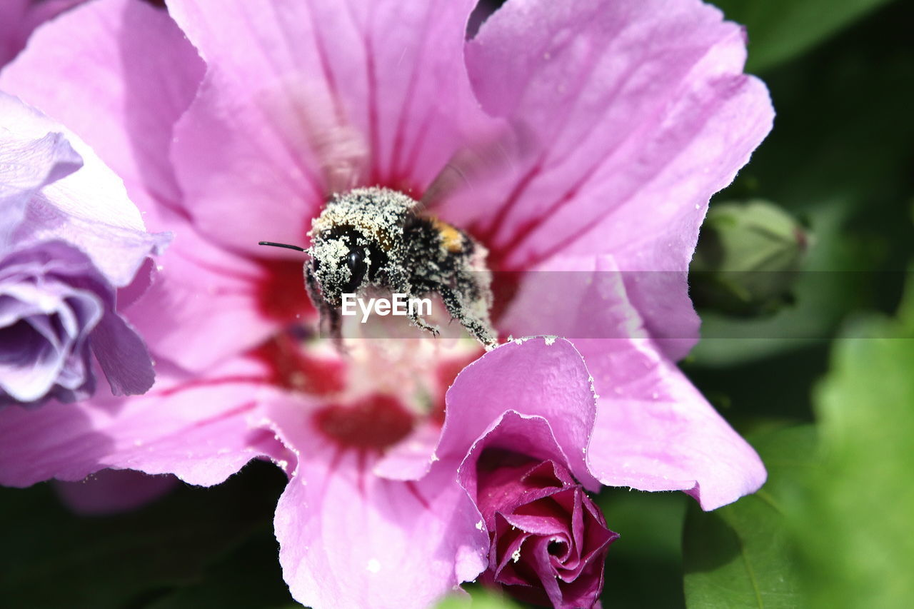 CLOSE-UP OF INSECT ON PINK ROSE
