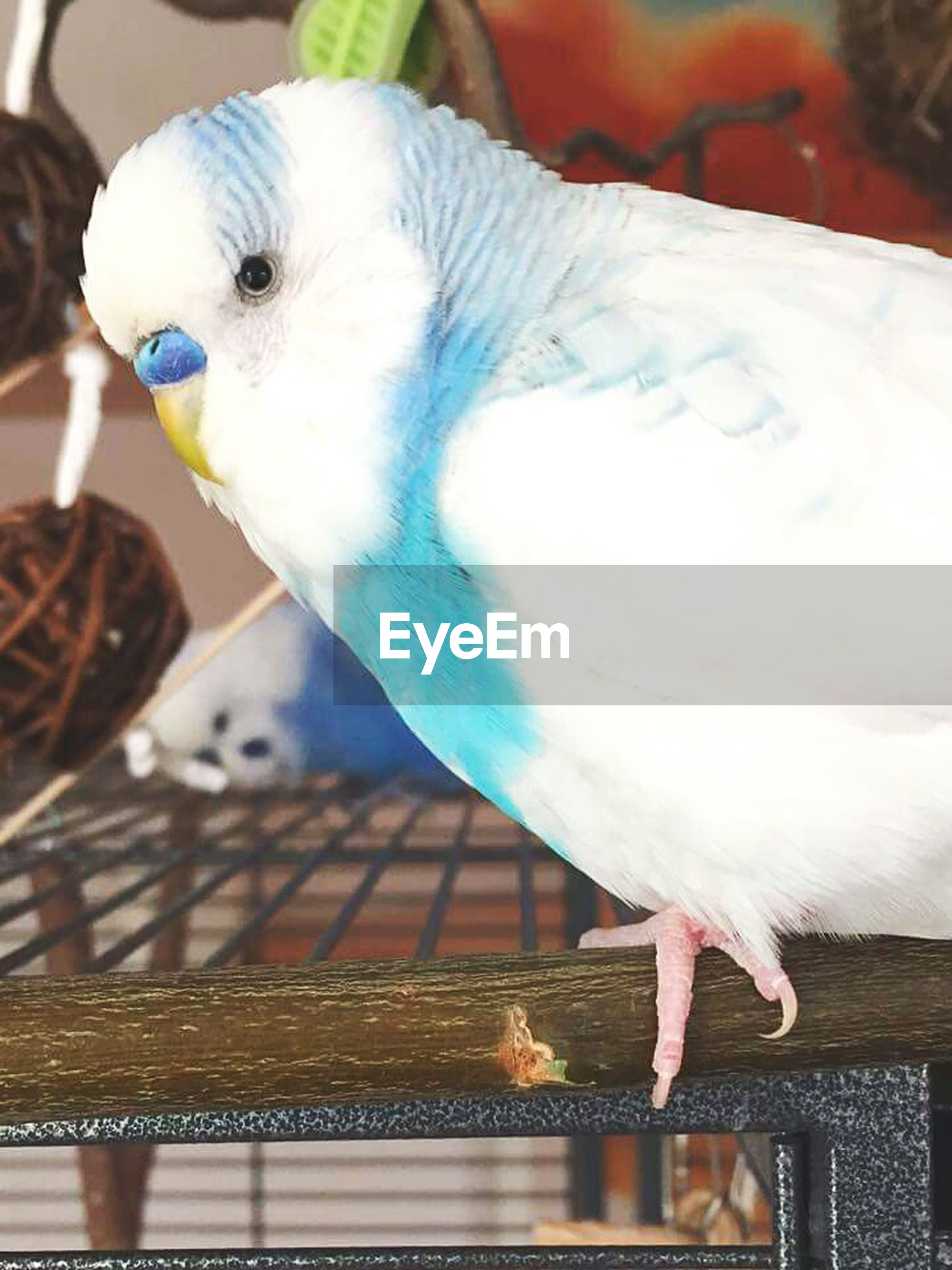 bird, animal themes, animals in the wild, animal wildlife, one animal, perching, budgerigar, close-up, no people, cage, outdoors, day