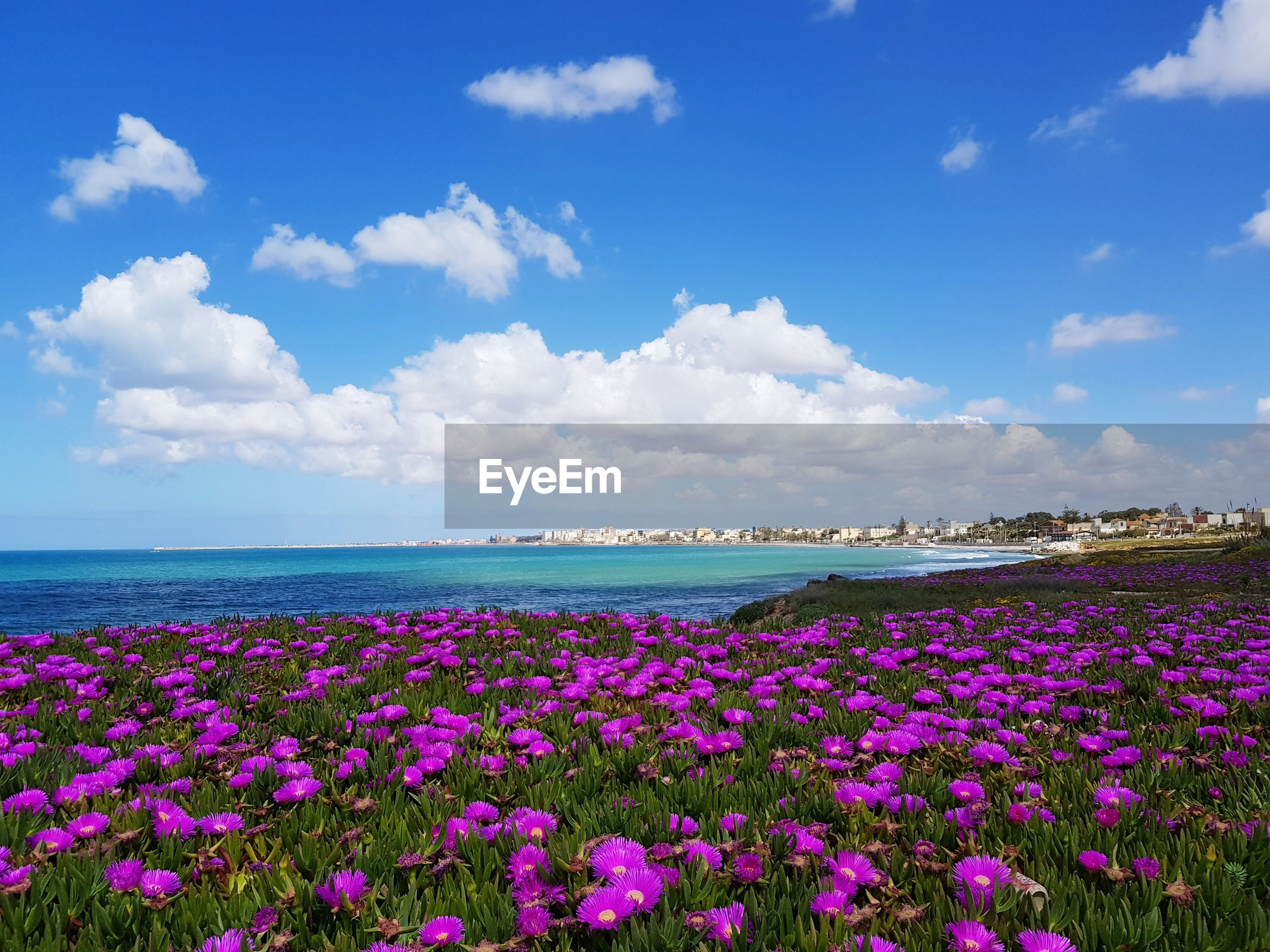 SCENIC VIEW OF PINK FLOWERS ON SEA SHORE AGAINST SKY