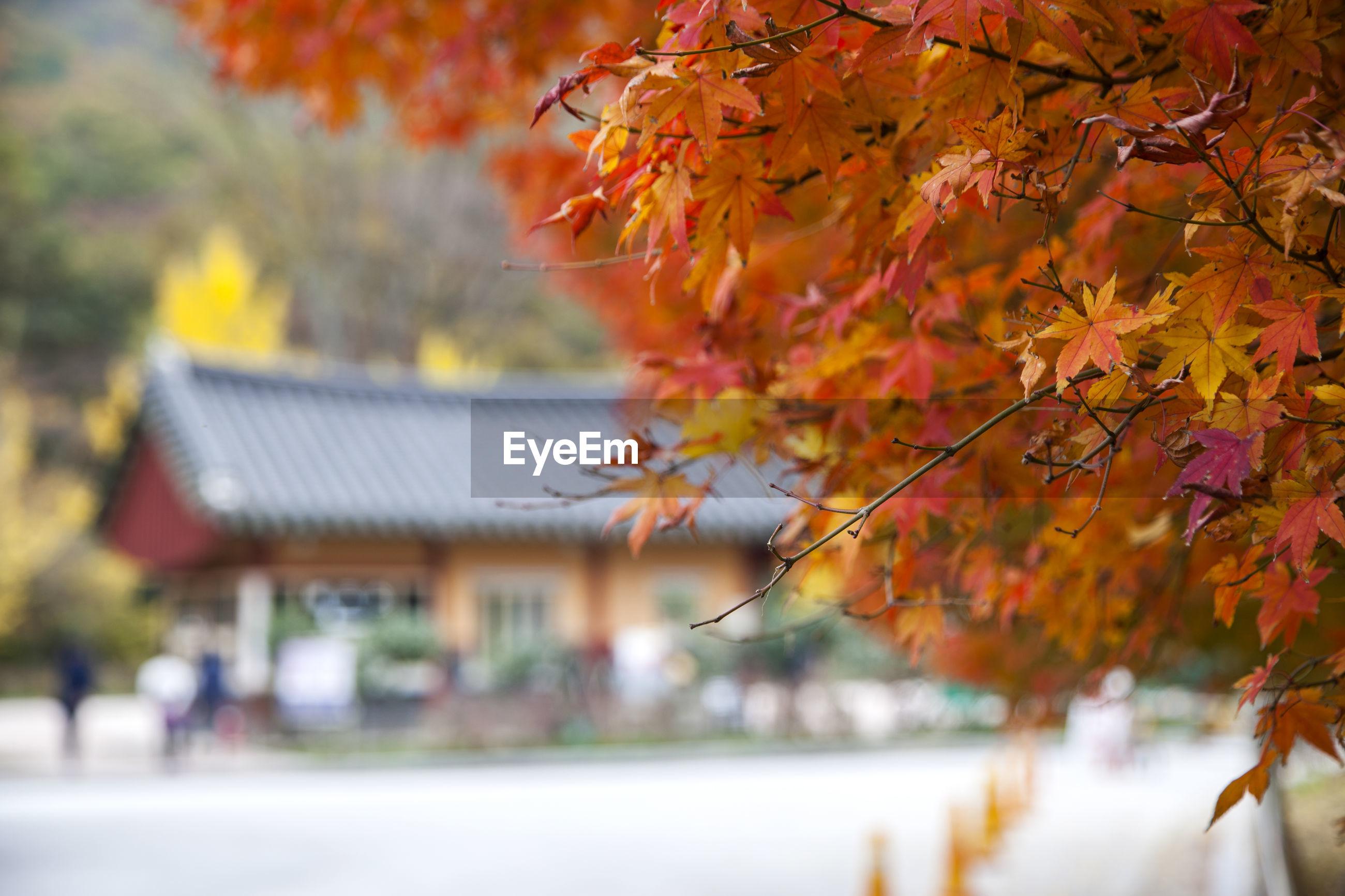 Maple tree branches near seonunsa temple during autumn