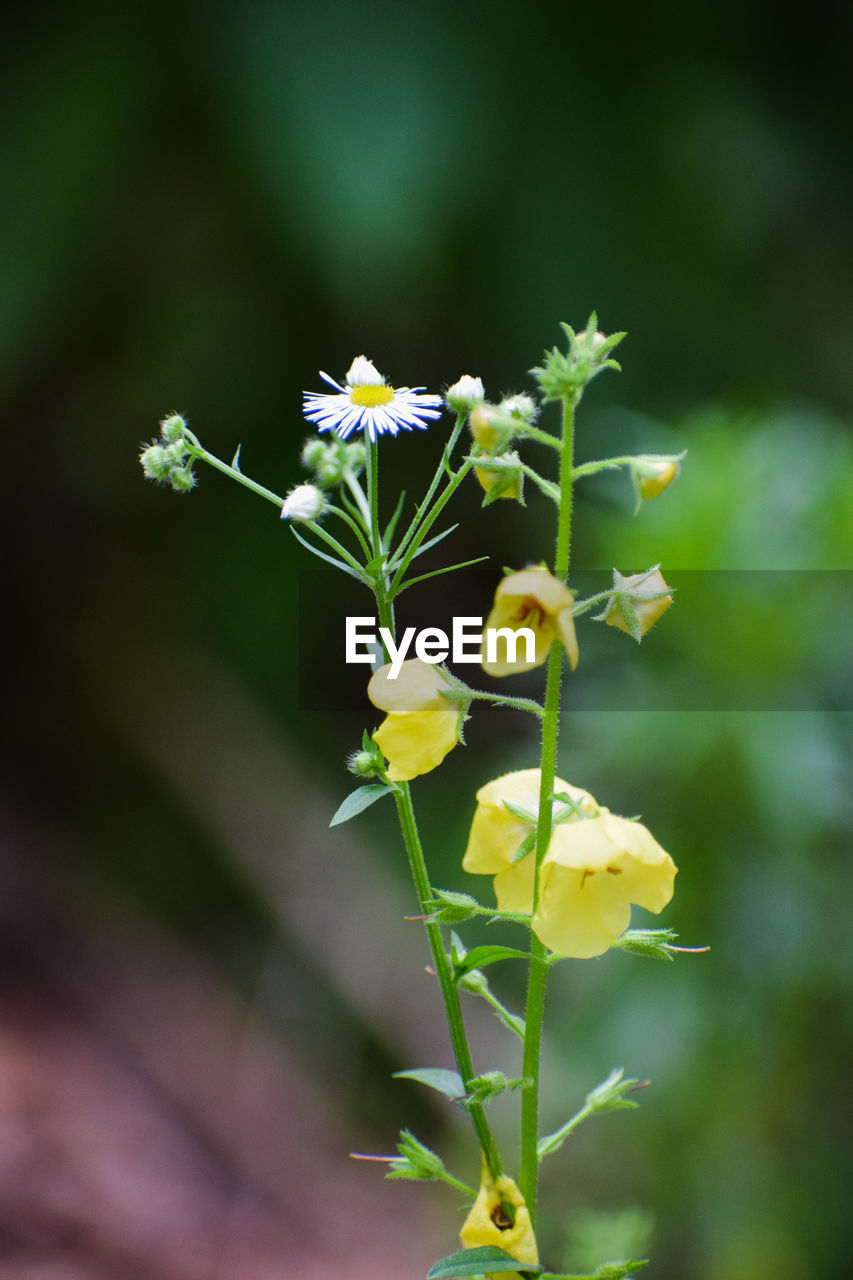 flower, flowering plant, plant, fragility, vulnerability, beauty in nature, freshness, growth, petal, close-up, flower head, inflorescence, nature, focus on foreground, selective focus, yellow, no people, plant stem, day, outdoors