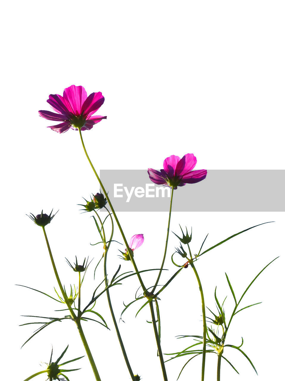 flower, white background, petal, freshness, studio shot, growth, no people, beauty in nature, nature, pink color, cosmos flower, fragility, plant, flower head, close-up, clear sky, day, outdoors