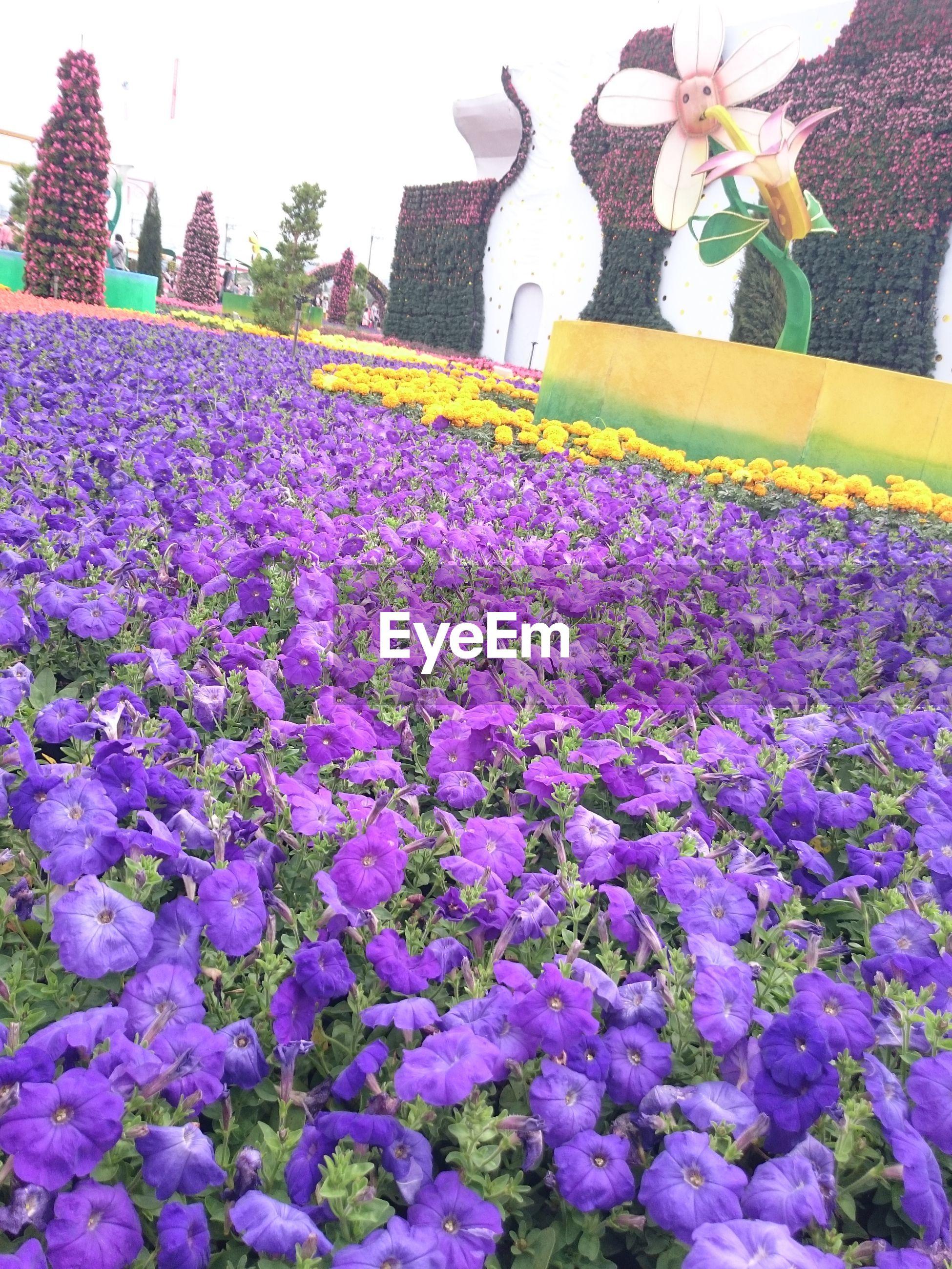 Purple petunia flowers in formal garden